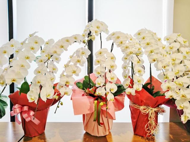 開店祝いに贈られる胡蝶蘭!お祝いにふさわしいのは何色か?