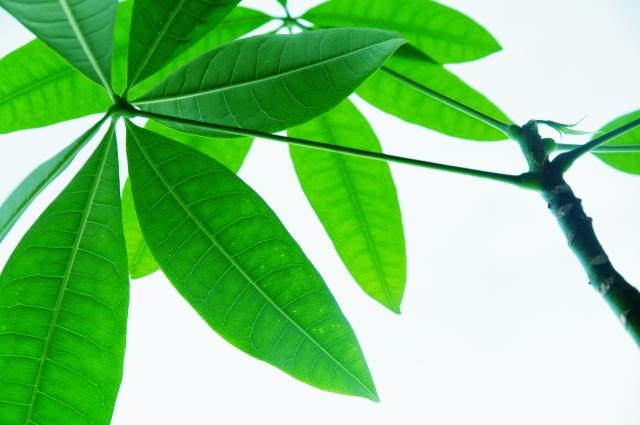 開店祝いになぜ観葉植物パキラが人気?ギフトマナーもご紹介